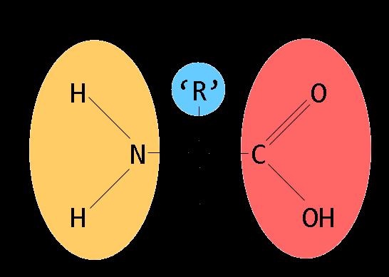 aminozuren ergomax