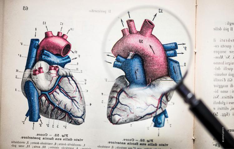 gedetailleerde weergave van een hart